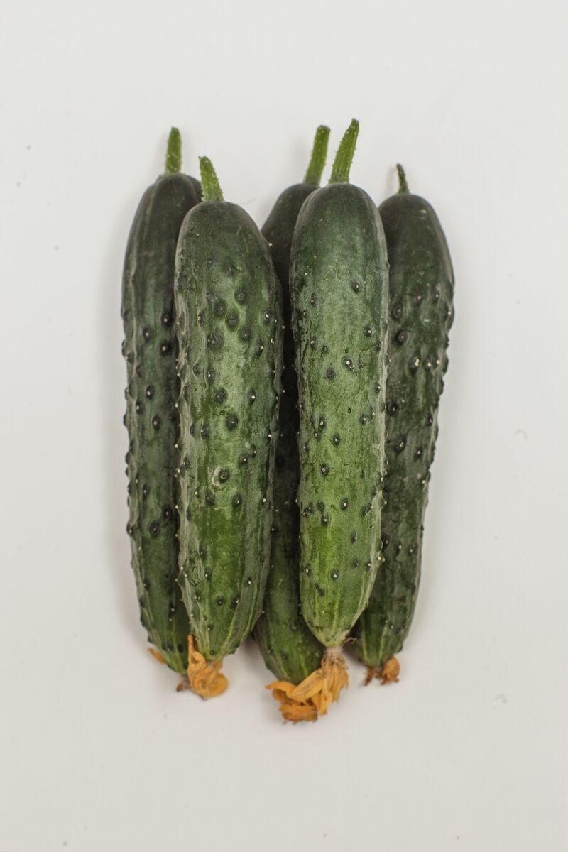 Огурец зозуленок f1 выращивание 48