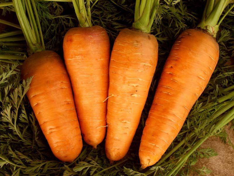 Как сажать семена морковки в грунт