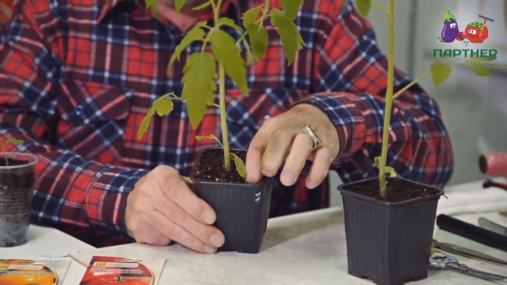 Выращивание рассады томатов - подкормка рассады