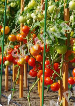 купить семена томата софа